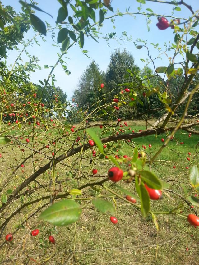 Zdjęcie krzewu dzikiej rółży magazynu Jesieni Wieku
