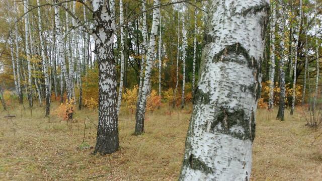 Zdjęcie brzozy brodawkowatej magazynu Jesieni Wieku