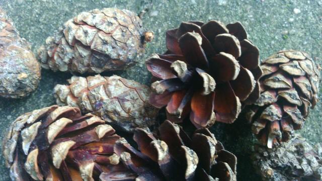 Zdjęcie szyszki sosny zwyczajnej magazynu Jesieni Wieku