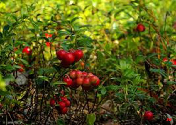 Zdjęcie do artykułu Borówka brusznica magazynu Jesieni Wieku